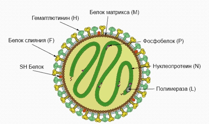 вирус чумы собак