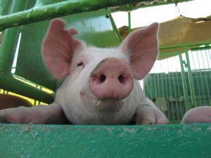 ветпрепараты для свиней